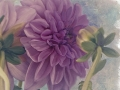 Chatting Dahlias